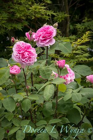 Rosa x damascena_2086