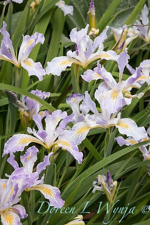 Iris tenax_2071