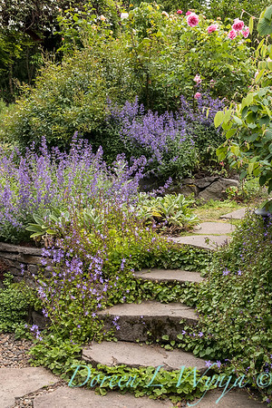 Campanula fenestrellata between stone steps_2083