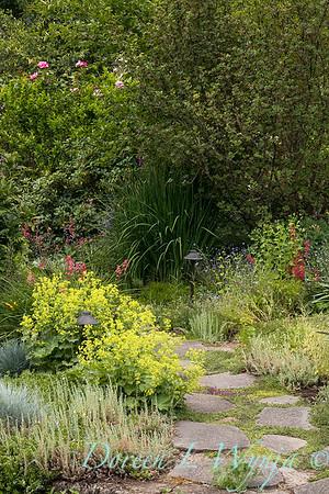 Alchemilla mollis pollinator garden path_2053