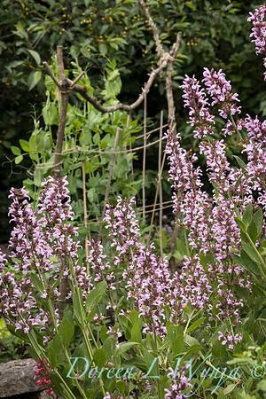 Salvia officinalis 'Rosea'_2092