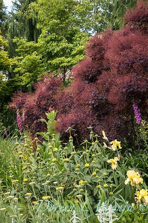Cotinus coggygria 'Royal Purple'_2046