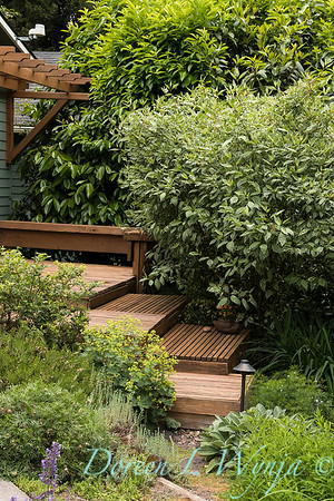pollinator garden - Cornus alba 'Elegantissima'_2119