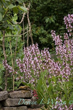 Salvia officinalis 'Rosea'_2089