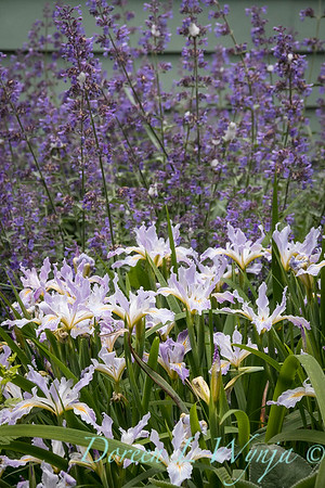 Iris tenax_2075