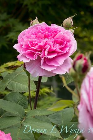 Rosa x damascena_2087