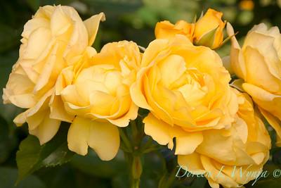 Rosa 'Julia Child'_1600