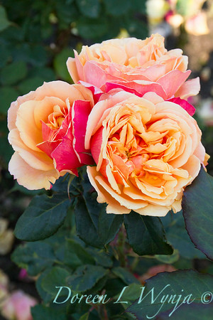 Rosa 'About Face'_1481