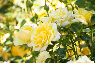 Yellow Rose_926