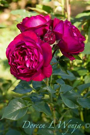 Rosa 'Wild Blue Yonder'_1484