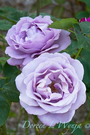 Rosa grandiflora Sweetness_946