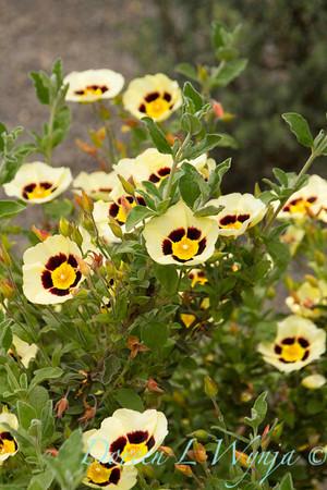 Halimiocistus wintonensis Merrist Wood Cream_710