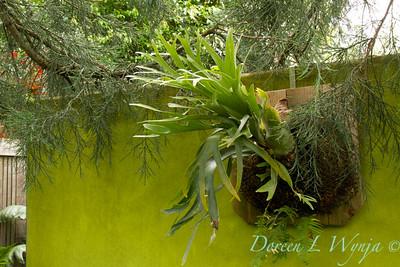 Platycerium bifurcatum - Quirk & Neill Garden_125