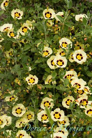 Halimiocistus wintonensis Merrist Wood Cream_712