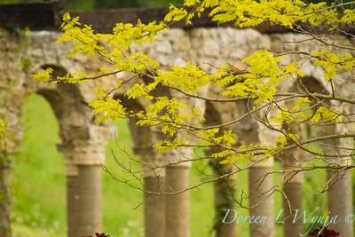 Robinia pseudoacacia Frisia_008