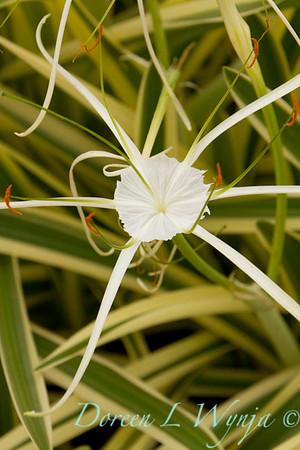 Hymenocallis littoralis Variegata_007