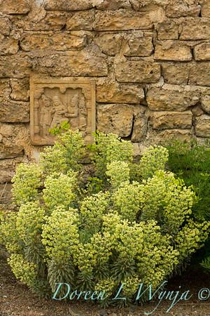 Euphorbia characias Tasmanian Tiger_014