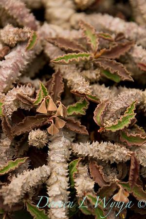 Euphorbia decaryi var  decaryi_005