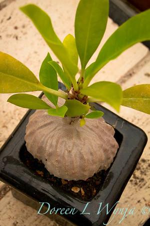 Myrmecodia tuberosa_005