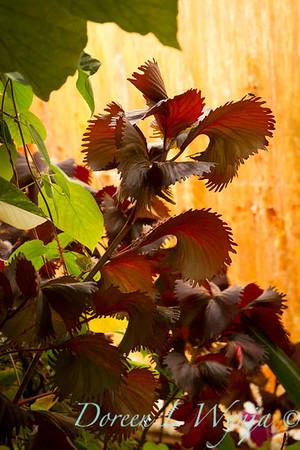 Acalypha wilkesiana Curly-Q_027
