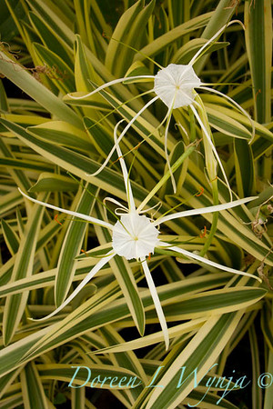 Hymenocallis littoralis Variegata_006
