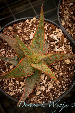 Aloe hybrid Red TM_001