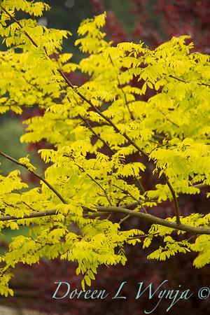 Robinia pseudoacacia Frisia_003