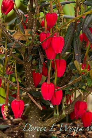 Crinodendron hookerianum_002