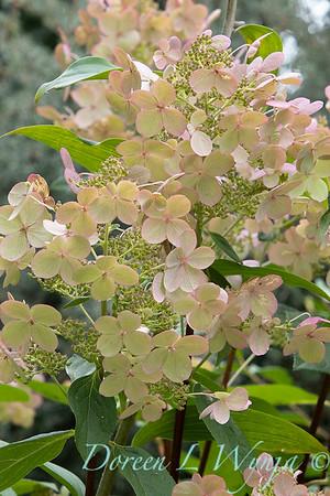 Hydrangea paniculata 'Bulk' Quick Fire_6119