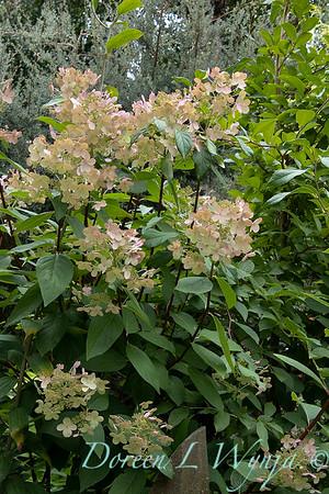 Hydrangea paniculata 'Bulk' Quick Fire_6117