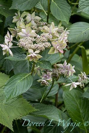 Hydrangea macrophylla 'Star Gazer_6128