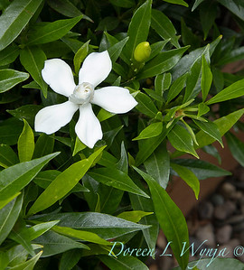 Gardenia jasminoides 'Frostproof'_6132
