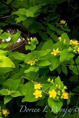 Hypericum androsaemum Golden Tusan__008