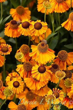 Helenium 'Helbro' Mardi Gras with bee_5111