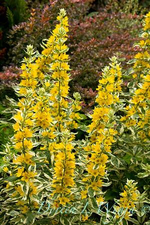 Lysimachia punctata Golden Alexander_041
