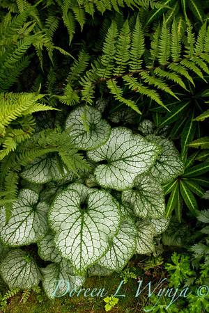 Brunnera macrophylla Jack Frost_036