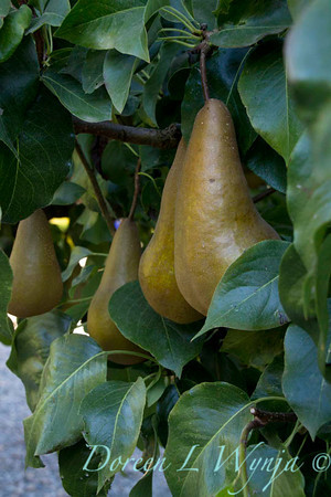 Bosc pear_629