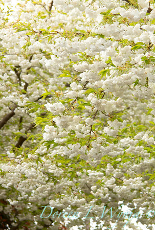 Prunus Mt Fuji_001