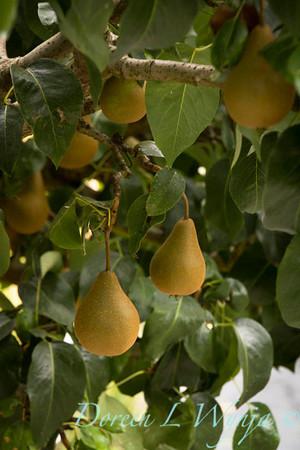 Bosc Pears_9471
