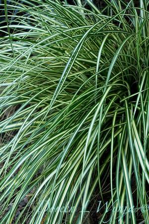 Carex 'Evergold'_2302
