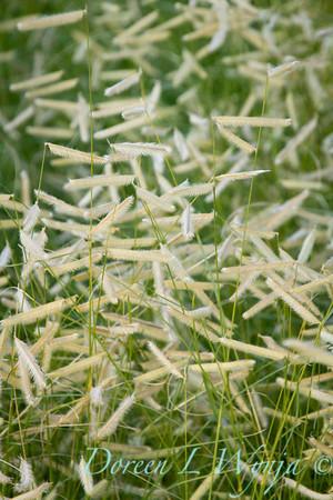 Bouteloua gracilis Blonde Ambition_055