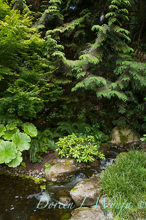Darmera pelata - Acer palmatum - water feature_2147