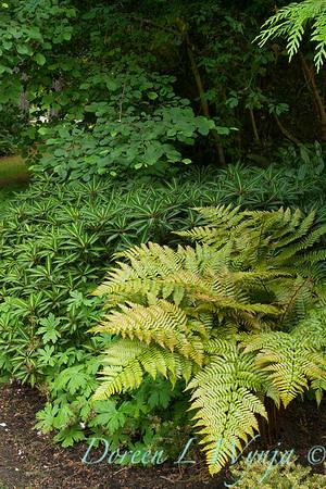 Dryopteris erythrosora - Impatiens omieana_2151