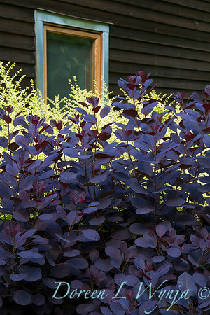 Cotinus coggygria Royal Purple_2086