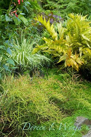 Dryopteris erythrosora - landscape_2333