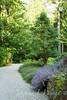Acer griseum - Nepeta racemosa Walkers Low - Cotoneaster dammeri Eichholz_2364