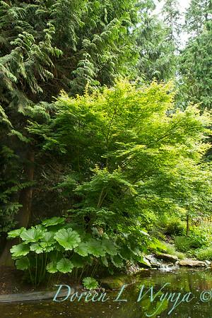 Darmera peltata_Acer palmatum_2209