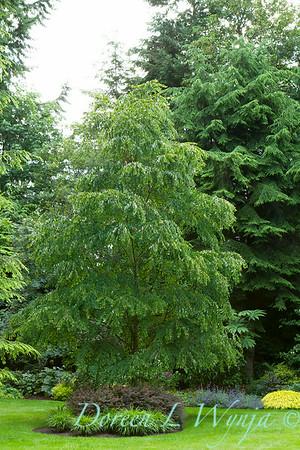 Cercidiphyllum japonicum_2176