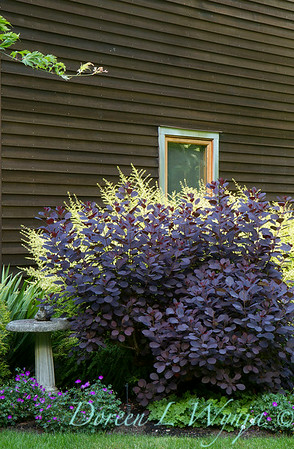 Cotinus coggygria Royal Purple_2082