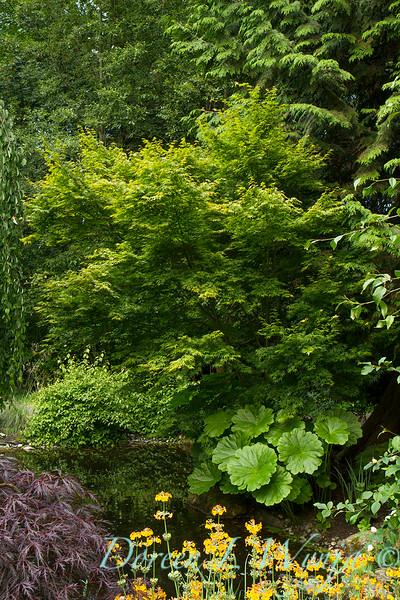 Darmera pelata - Acer palmatum_2141